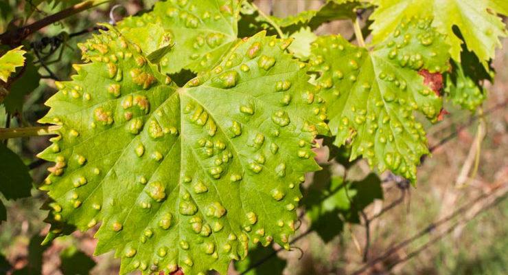 20 effektivnyh sposobov lecheniya vinograda ot oidiuma