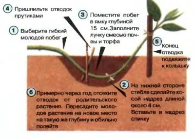 6 sposobov razmnozheniya gortenzii
