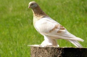 agarany odna iz raznovidnostej turkmenskih bojnyh golubej
