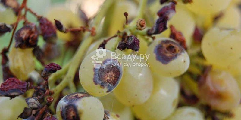 antraknoz vinograda lechenie i profilakticheskie mery