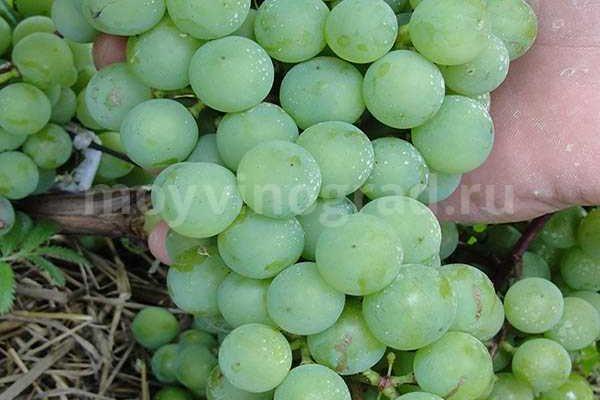 baltijskaya avantjura sort severnogo vinograda supaga