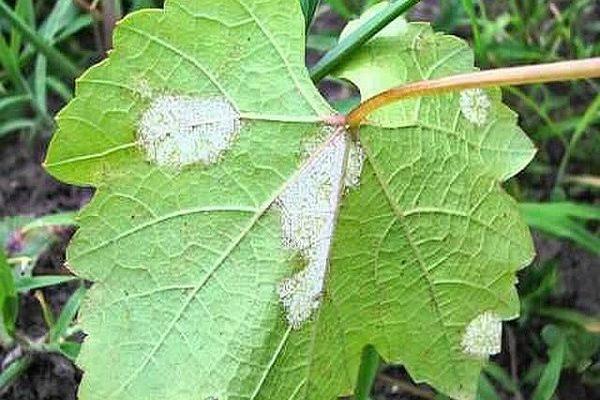 belyj nalet na listyah vinograda kak borotsya