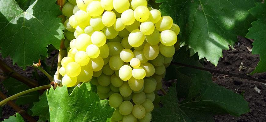 bessemyannyj sort vinograda kishmisha 342
