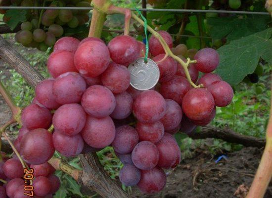 bodryj sovremennyj sort vinograda rannego sozrevaniya
