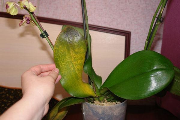 bolezni orhidej i sposoby lecheniya v domashnih usloviyah