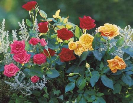 bolezni roz kak lechit i sohranit korolevu sada zdorovoj