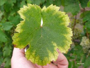 chto mozhet skazat izmenenie v cvete listev vinograda