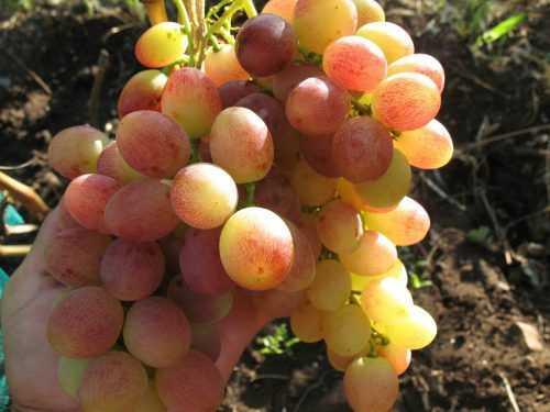 chto nuzhno znat o sorte vinograda tason