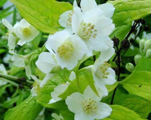 chubushnik venechnyj lozhnyj zhasmin s belosnezhnym cveteniem i yarkim aromatom