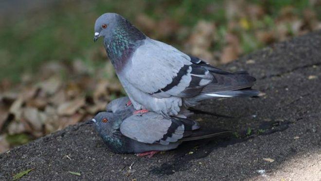 domashnie golubi osobennosti razmnozheniya