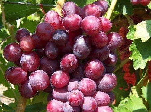 dunav sort vinograda pokorivshij serdca vinogradarej