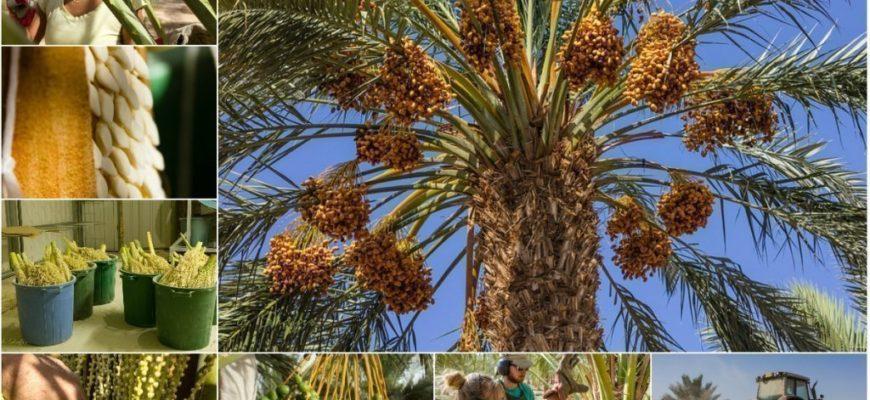 finikovye palmy i ih plody sovetu po vyrashhivaniju