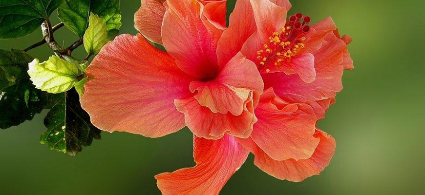 gibiskus mahrovyj kitajskaya roza s obilnym cveteniem