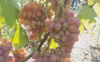 gibridnaya forma vinograda dashunya luchshij vybor