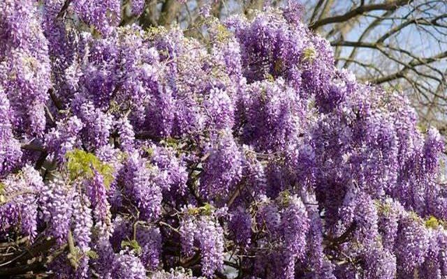 gliciniya ili visteriya rod drevovidnyh i tropicheskih derevev