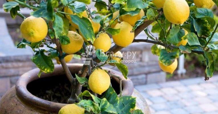 harakteristika limona pavlovskogo