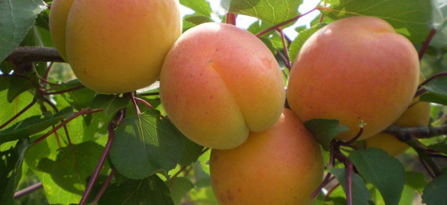 harakteristika melitopolskogo abrikosa