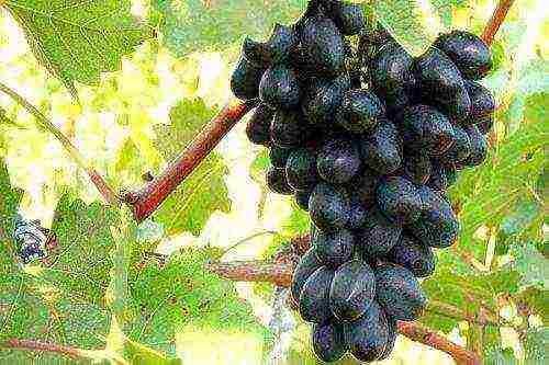 idealnyj vinograd luchshie temnye sorta