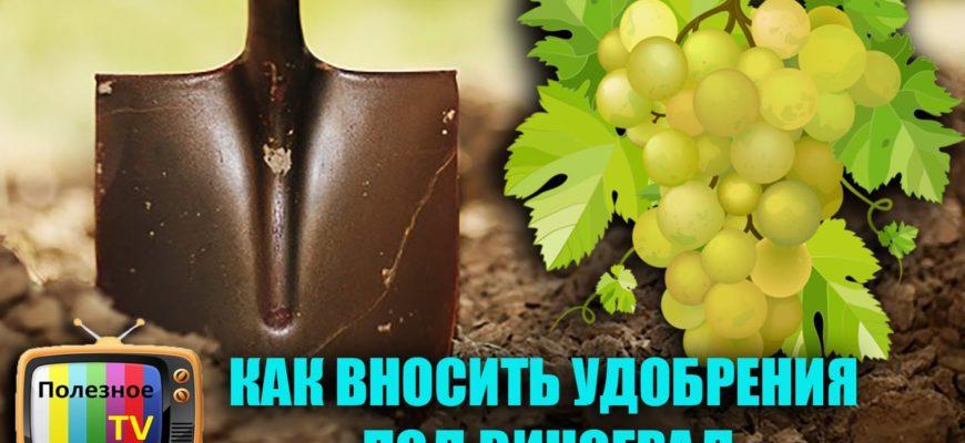 kak i kogda vnosit udobreniya pod vinograd
