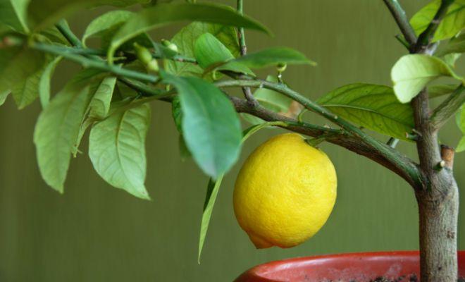 kak peresadit limon v druguju taru v usloviyah kvartiry
