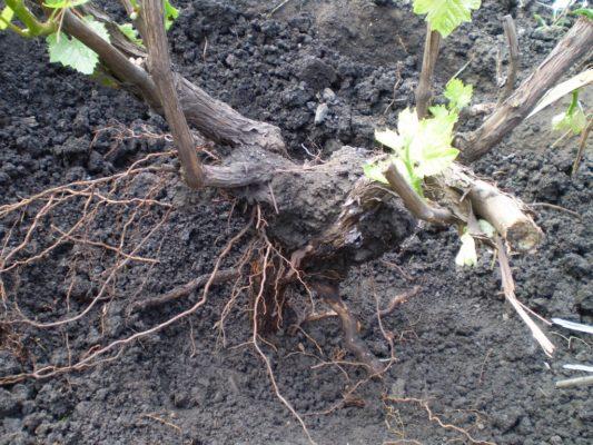 kak peresadit vinograd letom
