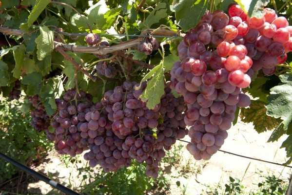 kak posadit vinograd osenju pravilnoe provedenie procedury