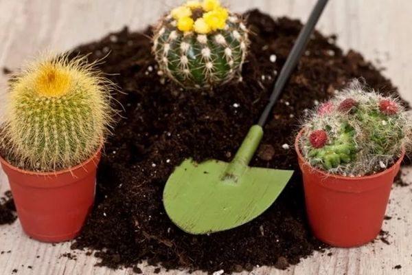 kak pravilno peresadit kaktus instrukciya i rekomendacii