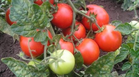 kak pravilno sazhat i vyrashhivat tomaty krasnaya shapochka