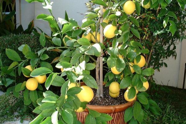 kak pravilno uhazhivat za limonom mejera