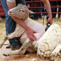 kak pravilno vybrat mashinku dlya strizhki ovec na chto obratit vnimanie