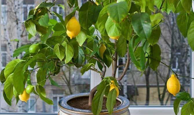 kak prigotovit pochvu dlya limona v domashnih usloviyah
