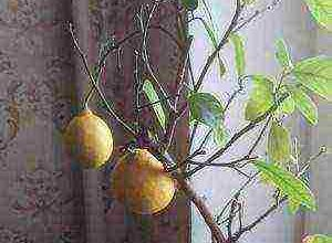 kak rastet frukt pomelo v estestvennyh i domashnih usloviyah