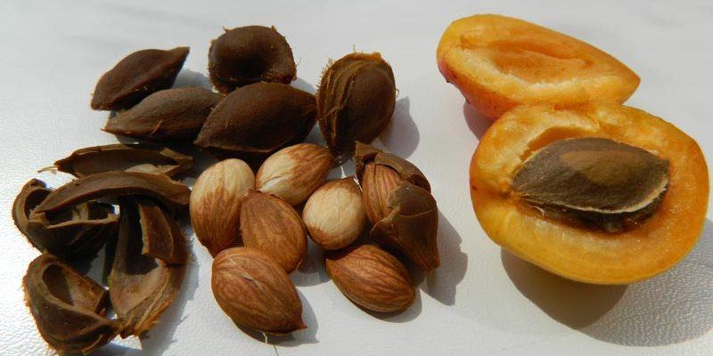 kak samostoyatelno vyrastit abrikos iz kostochki