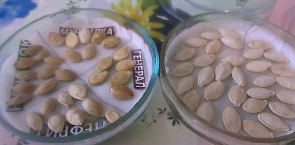 kak zamachivat semena kabachkov pered posadkoj