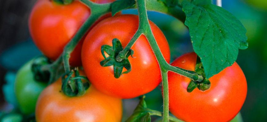 kakogo chisla neobhodimo vysazhivat pomidory