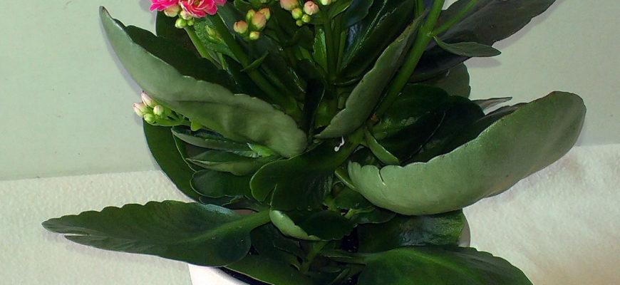 kalanhoe kalandiva cvetushhee domashnee rastenie s poleznymi svojstvami