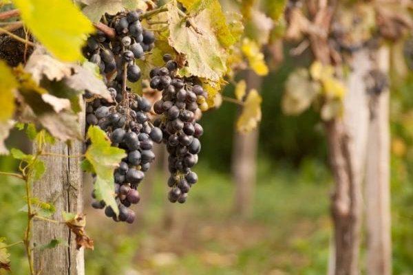 kogda i chem mozhno podkormit vinograd osenju