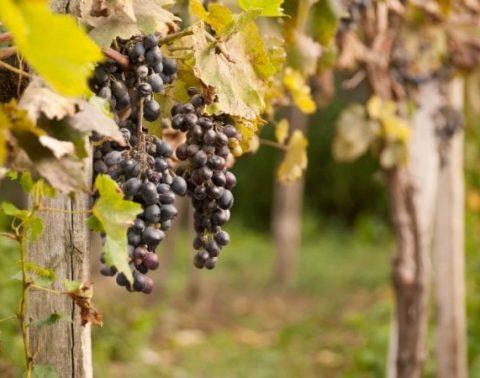 kogda i chem sleduet podkormit vinograd osenju