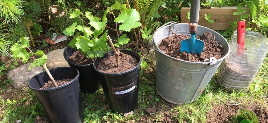 kogda luchshe sazhat vinograd