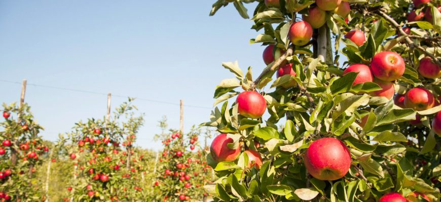 kolonovidnye derevya sposoby vyrashhivaniya fruktov na korotkih vetkah