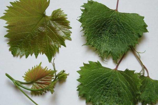 korotkouzlie stolovogo i promyshlennogo vinograda