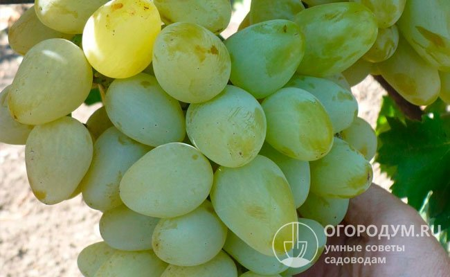krupnye sorta belogo vinograda