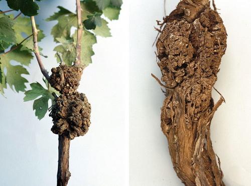 lechenie bakterialnogo raka vinograda