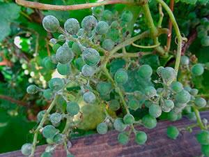 lechenie bolezni vinograda oidium