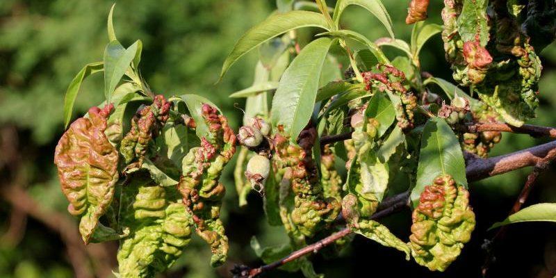 lechenie kurchavosti listev u persika