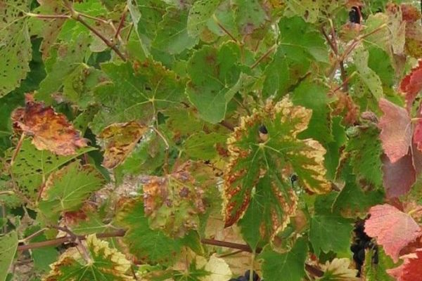 listya vinograda zasyhajut chto delat