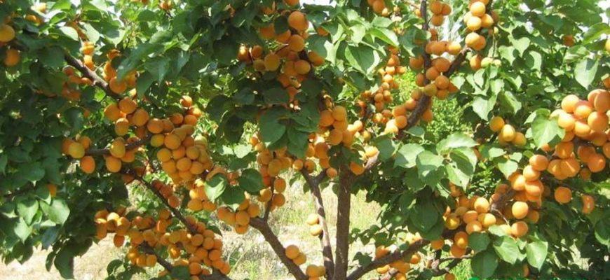 luchshee vremya dlya posadki abrikosa