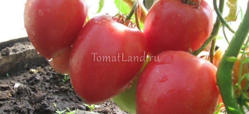 luchshie sorta tomatov kenigsberg