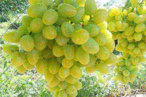 luchshie stolovye sorta vinograda s samoj vysokoj urozhajnostju