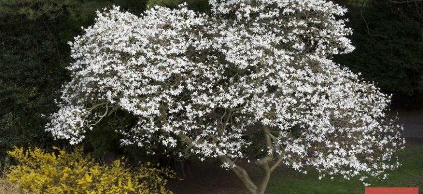 magnoliya kobus koroleva priusadebnogo uchastka